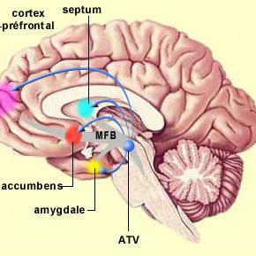 """Cartographie du cerveau et grandes voies nerveuses : le """"MFB"""" toujours à l'étude !"""